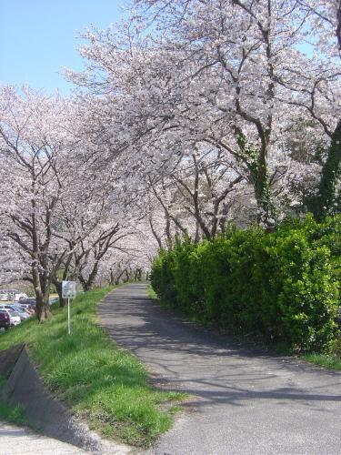 土手に並ぶ桜並木