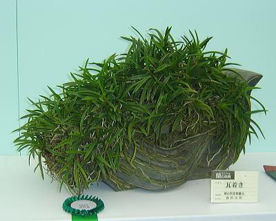 蘭の祭典 東洋蘭 奨励賞